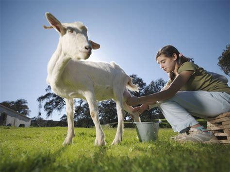 goat milk   milk   healthier