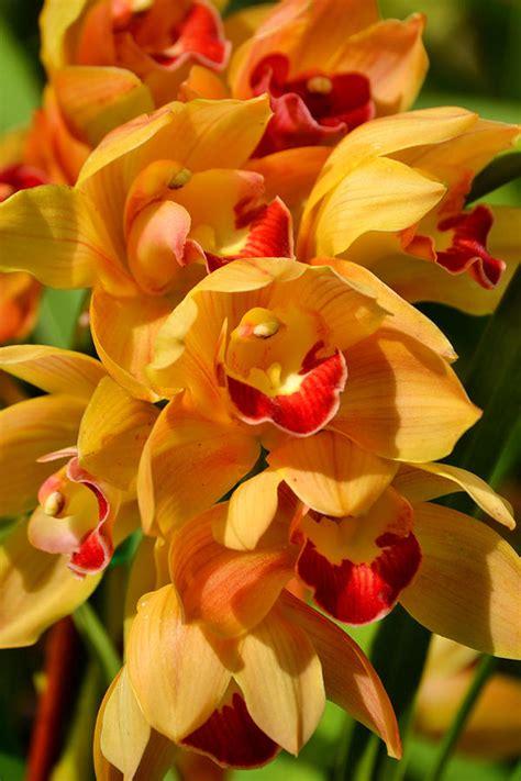 orange dendrobium orchids  bloom portrait photograph