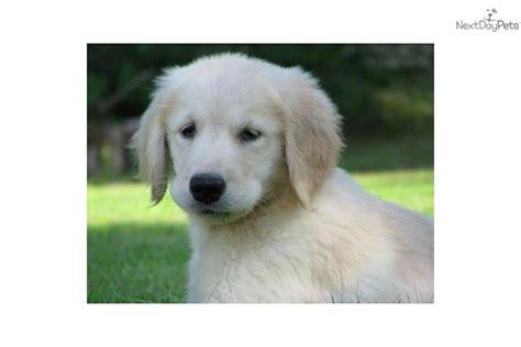 light golden retriever puppies golden retriever puppies for sale akc regist golden retrievers breeds picture