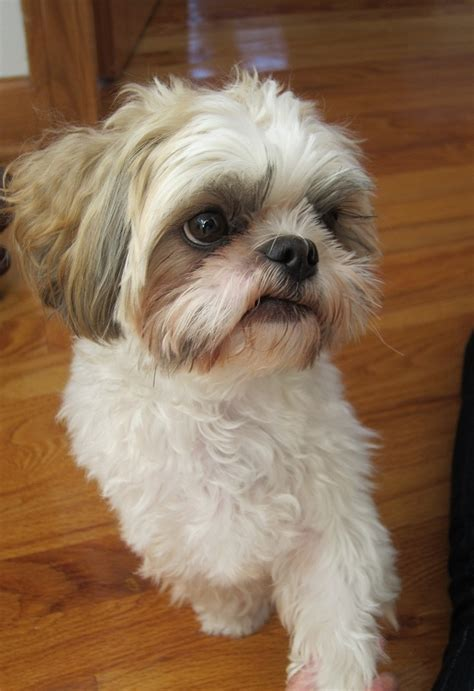 and white shih tzu adorable white and brown shih tzu shih tzu