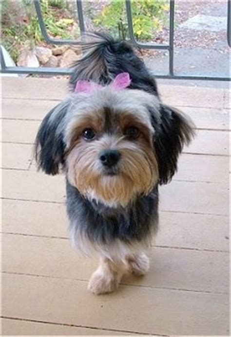 yorkie japanese chin mix jarkie breed information and pictures