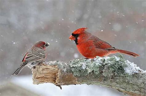 birds in winter cardinal and finch in snow birds