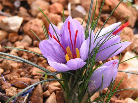 vive que no es poco la flor del azafr 225 n