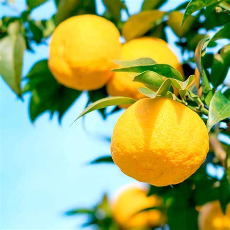 Lime Plant   Yuzu   All Fruit Trees   Fruit Trees   Fruit
