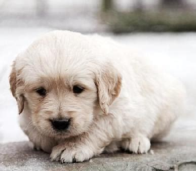 golden retriever puppies for sale australia free ads eu dogs puppies classifieds golden retriever puppies for sale