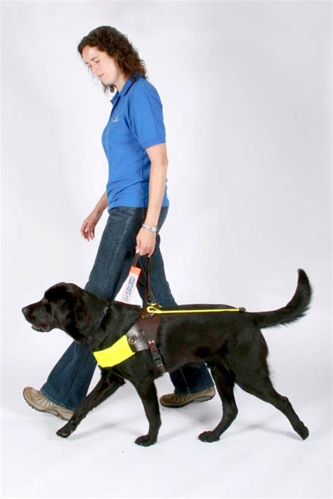 how are guide dogs trained study creates behaviour tool for guide dogs vet times