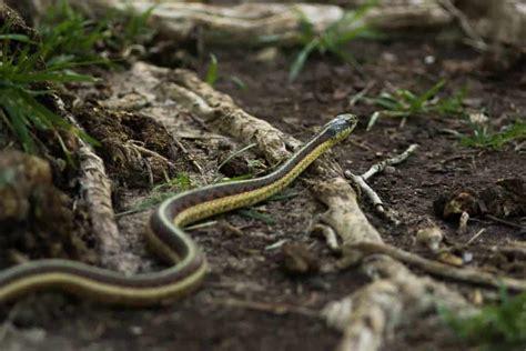 whats  difference   garden snake   garter