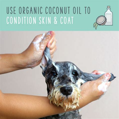 coconut for dogs coat coconut for dogs an eco friendly way to pet health