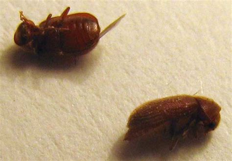 Pantry Moths Australia by Drugstore Beetles From Australia What S That Bug