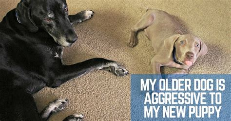 my puppy is aggressive is aggressive to my new puppy thatmutt