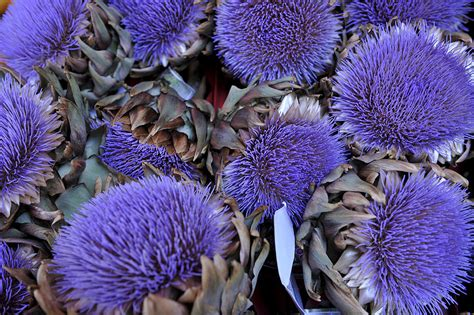 carciofo fiore carciofi propriet 224 controindicazioni ricette e uso in