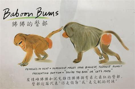 babbuini sedere rosso equivoci tra babbuini il o una babbuina