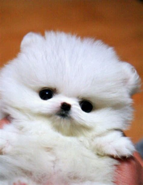 baby pomeranian for sale white teacup pomeranian teacup pomeranian puppys and so