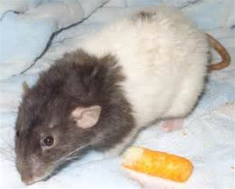 pet varieties pet rodents types www imgkid the image kid has it