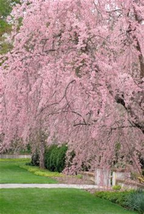 weeping flowering cherry tree zone 4 20 25 x 15 20 wide flora fauna
