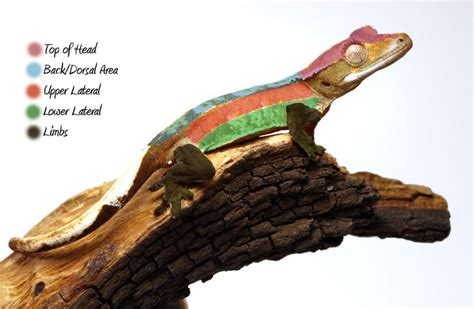 crested gecko colors crested gecko morph guide geckos crested