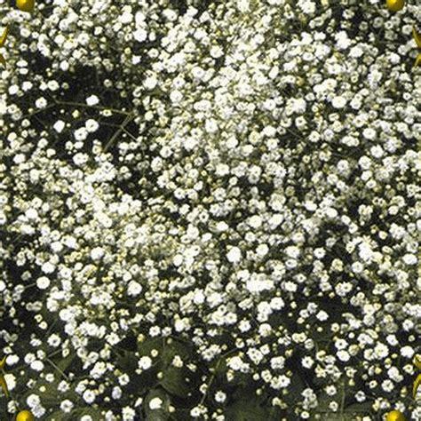 gypsophila paniculata perennial babys breath wildflower
