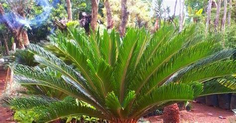 Jual Bibit Buah Jawa Timur bibit tanaman murah jual pohon palem di surabaya