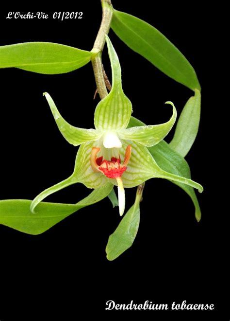 Dendrobium Tobaense dendrobium tobaense