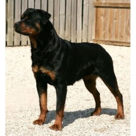 rottweiler breeders in md rottweiler puppies for sale in maryland area breeds picture