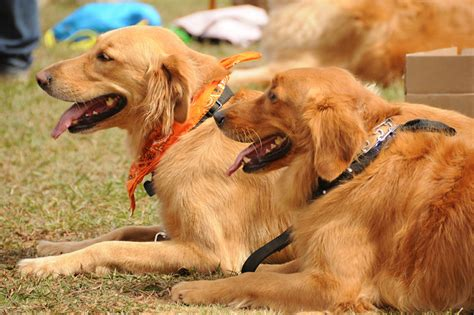 new golden retrievers welcome golden retriever rescue of atlanta