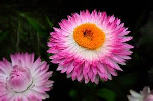 pictures of flowers strawflower