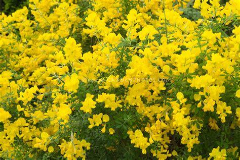 yellow like flower shrub genista x spachiana in flower plant flower stock
