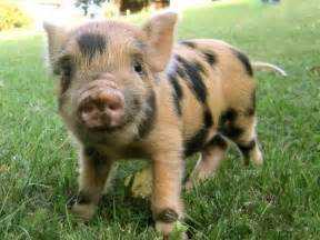 spotted piglet piggies facts tiger marmalade