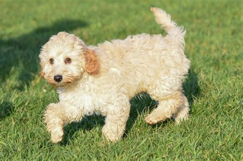lifespan of cocker poodle cockapoo breed information buying advice photos and