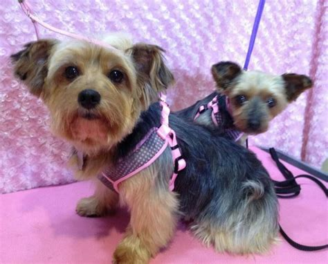 yorkie rescue mn 20 best images about my foster grooms on plymouth o day and