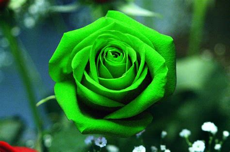 74 rose wallpaper for hd download green rose flower hd wallpapers mobile dady mobile