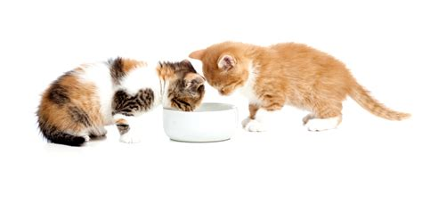 come alimentare un gatto come alimentare un gattino appena svezzato advance