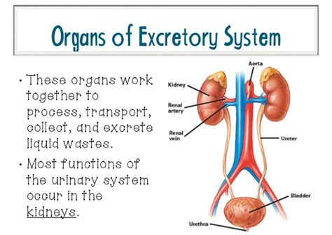 diagram of earthworm excretory process image gallery excretory process