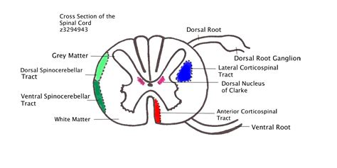 cross sectional view of the spinal cord file cross section of the spinal cord jpg embryology