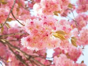 blossom cherry picture free photo cherry blossom japanese cherry free image