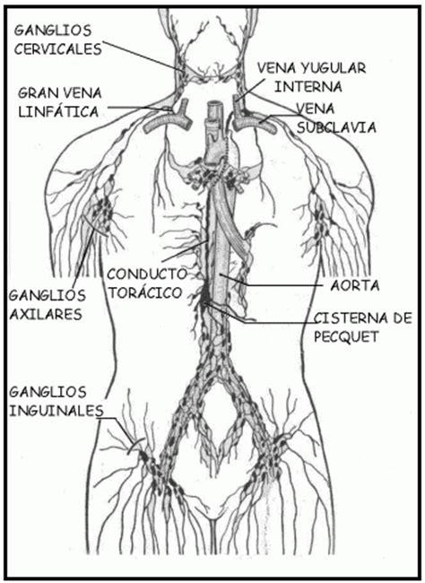 cuales son las cadenas ganglionares del cuello sistema cardiovascular p 225 gina 2 monografias