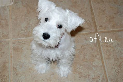 different haircuts for a miniature schnauzer summer cut for schnauzer schnauzer grooming styles