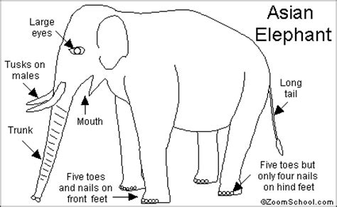 asian elephant coloring page asian elephant printout enchantedlearning com