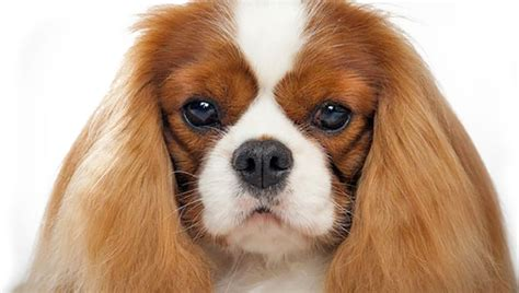 king charles breed cavalier king charles spaniel small breeds dbcentral