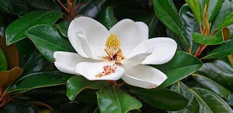 imagenes de magnolias blancas cuidados de las magnolias