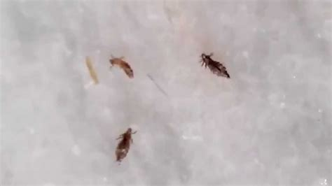 do bed bugs stay on your body head lice bug www pixshark com images galleries with a