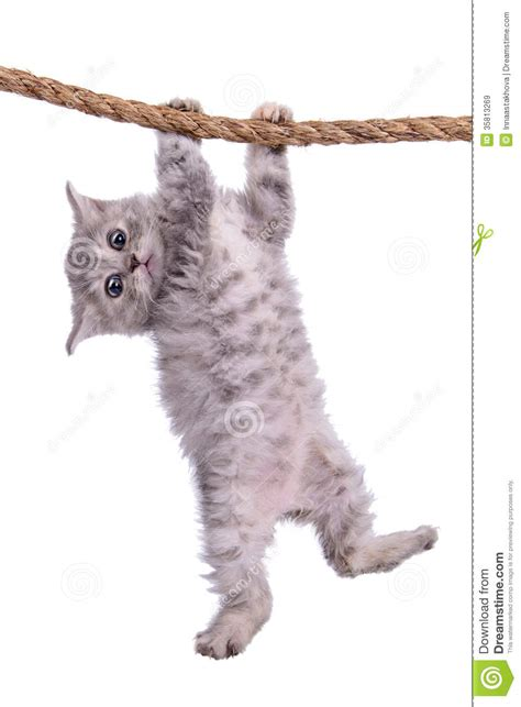 Funny Baby Cat Hanging On Rope Stock Image   CartoonDealer