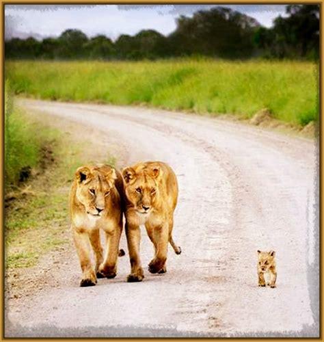 imagenes leones enamorados fotos de parejas de leones bellos imagenes de leones