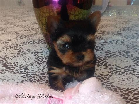 yorkies for sale in wisconsin yorkie wisconsin minnesota breeder teacup yorkie puppies for sale terrier