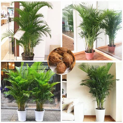 plantes aromatiques cuisine compare prices on areca palm plants shopping buy