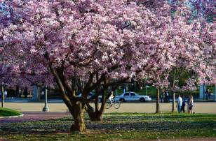 image gallery japanese saucer magnolia