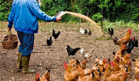 alimentazione polli polli da carne a ottobre inizia un nuovo ciclo di allevamento