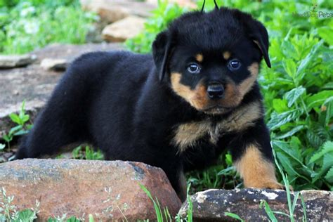 rottweiler names for boy dogs rottweiler puppy for sale near greenville upstate south carolina 15da7c36 ec61
