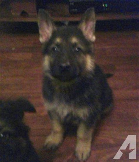 8 week german shepherd puppy 8 week german shepherd puppies for sale in scottsburg virginia classified