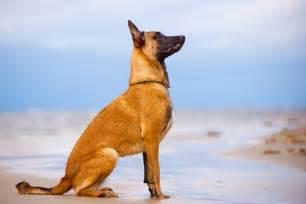 le de berger races de chien pr 233 sentation en d 233 par mouss
